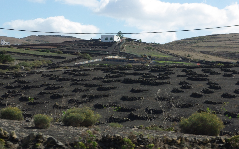 Vineyard in Lanzarote