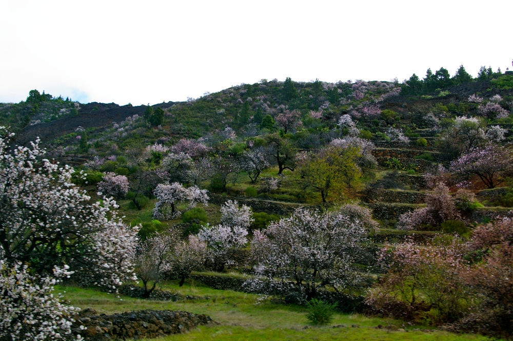 Canarian almond trees