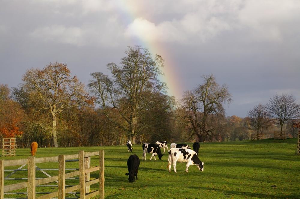 Rainbow cows