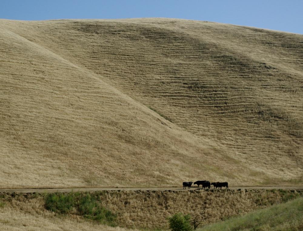 Californian cattle