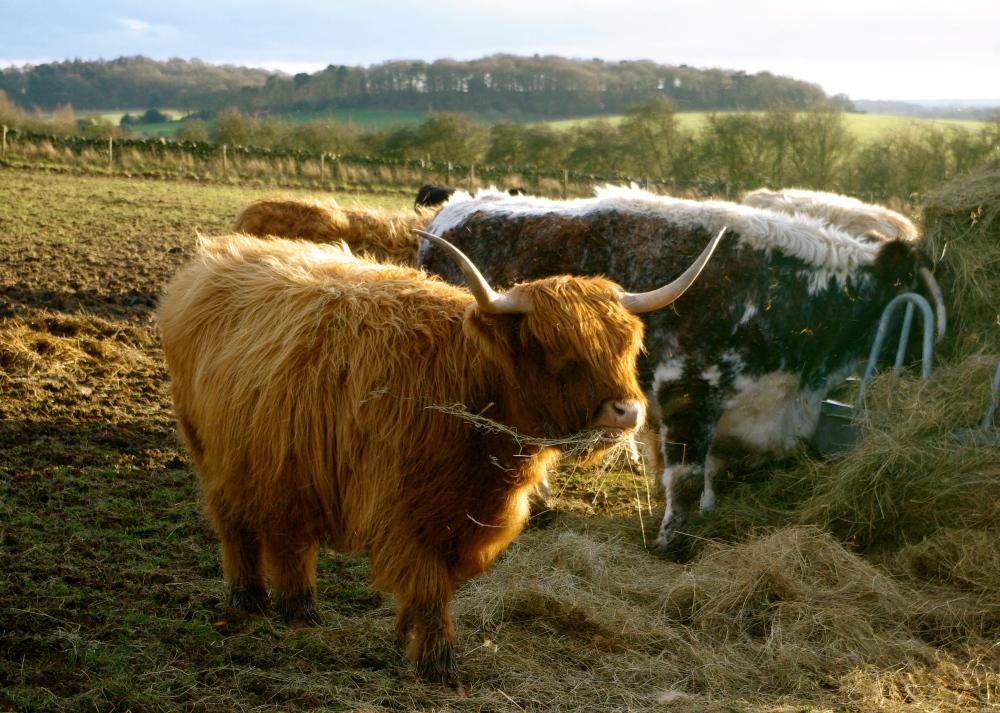 Chewing bull