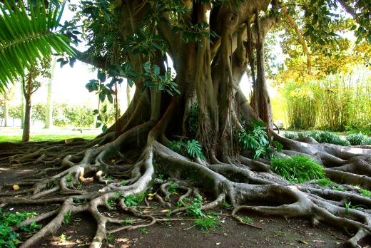 Ancient baobab