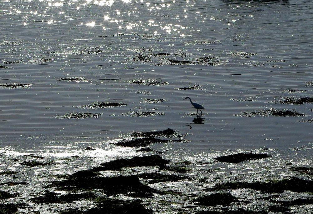 evening-egret