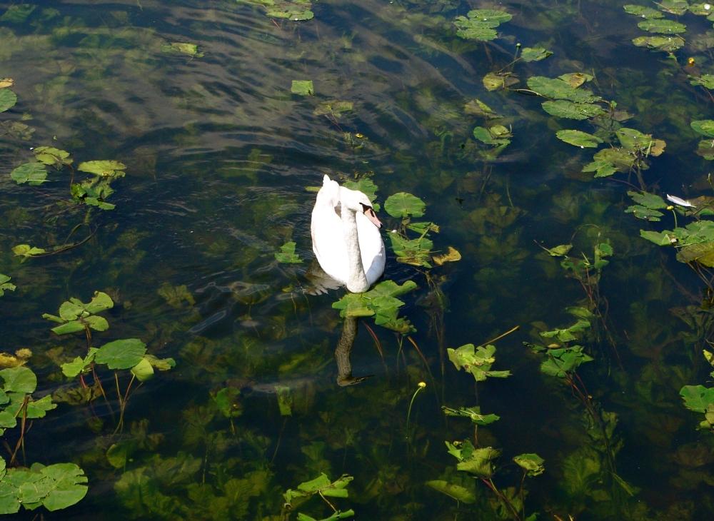 single-swan